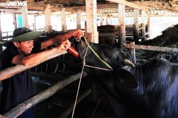 Ngăn dịch lở mồm long móng, Quảng Ngãi phun 7.000 lít hóa chất khử trùng