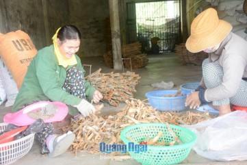 Bảo tồn và phát triển thương hiệu quế Trà Bồng